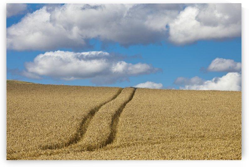 Tire Tracks In A Wheat Field; Scottish Borders, Scotland by PacificStock