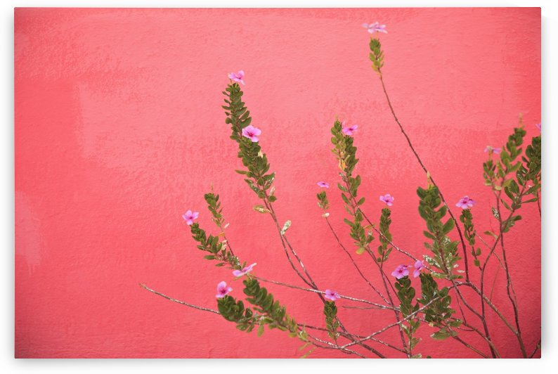 A Pink Flowering Plant Growing Beside A Red Wall; Baja California Sur, Mexico by PacificStock