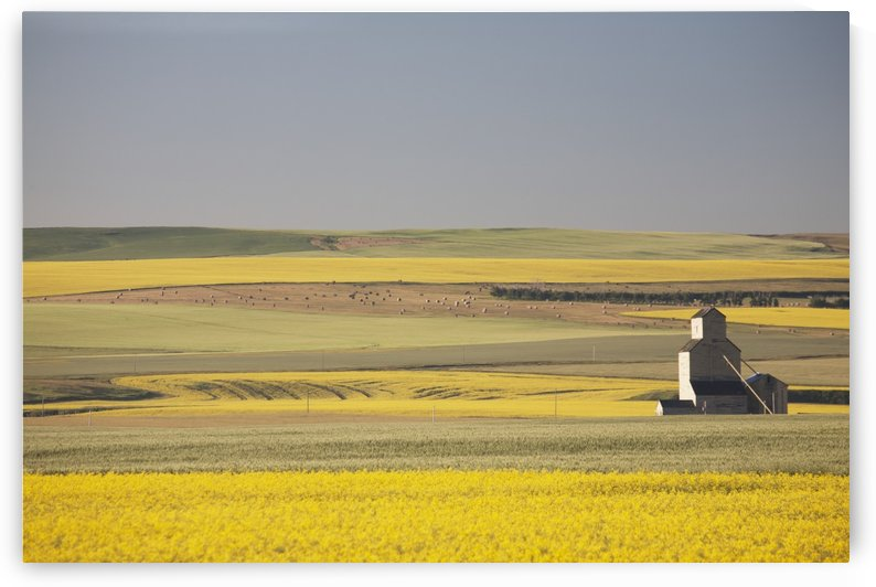 One Old Wooden Grain Elevator At Sunrise With Flowering Canola Fields In The Foreground And Background; Mosleigh, Alberta, Canada by PacificStock