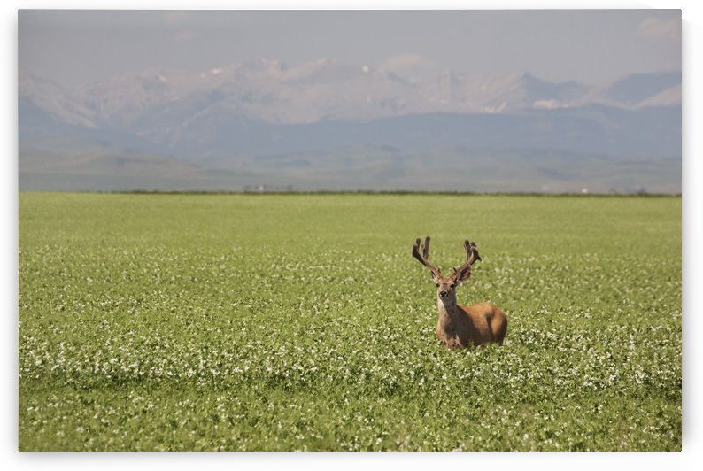 Male Deer With Antlers In A Flowering Pea Field With Mountains And Foothills In The Background; Alberta, Canada by PacificStock