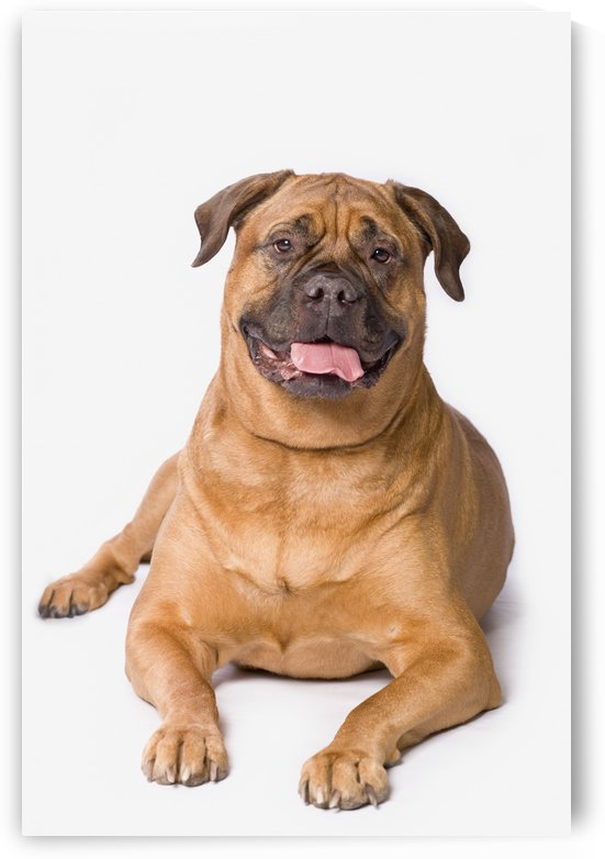 Bullmastiff Dog On White Background by PacificStock