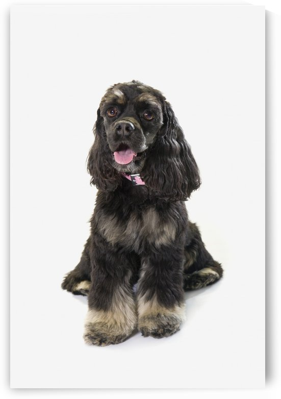 Black Cocker Spaniel With Golden Boots On White Studio Background by PacificStock