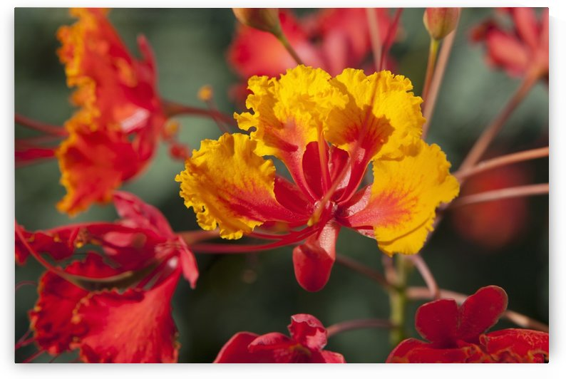 Close Up Of Mexican Bird Of Paradise (Caesalpinia Pulcherrima) Flowers; Palm Springs, California, United States of America by PacificStock