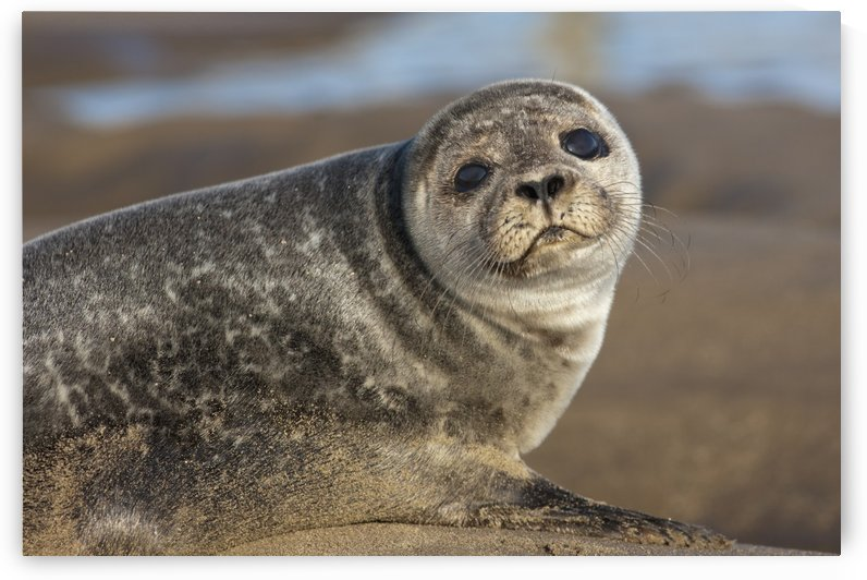 Sea Lion (Otariidae); Holy Island, Northumberland, England by PacificStock