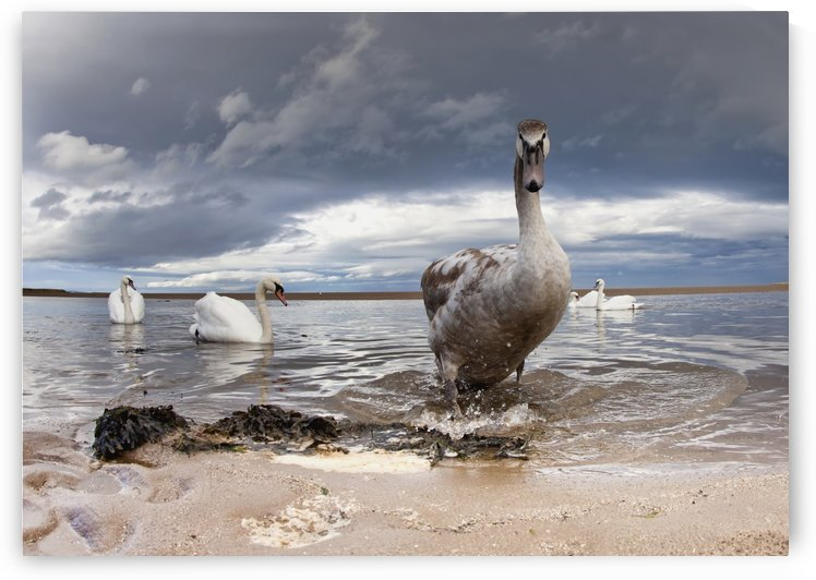 A Duck And Swans In The Shallow Water Along The Coast; Northumberland, England by PacificStock