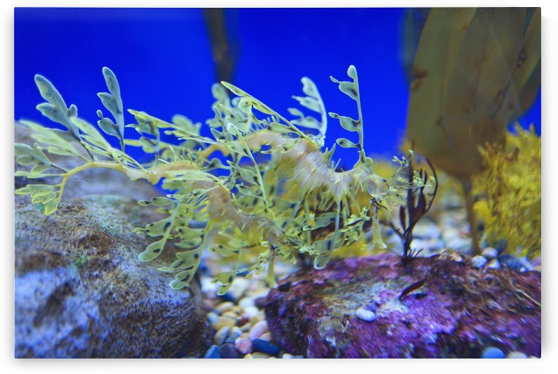 Leafy seadragon (phycodurus eques) at the monterey bay aquarium;Monterey california united states of america by PacificStock