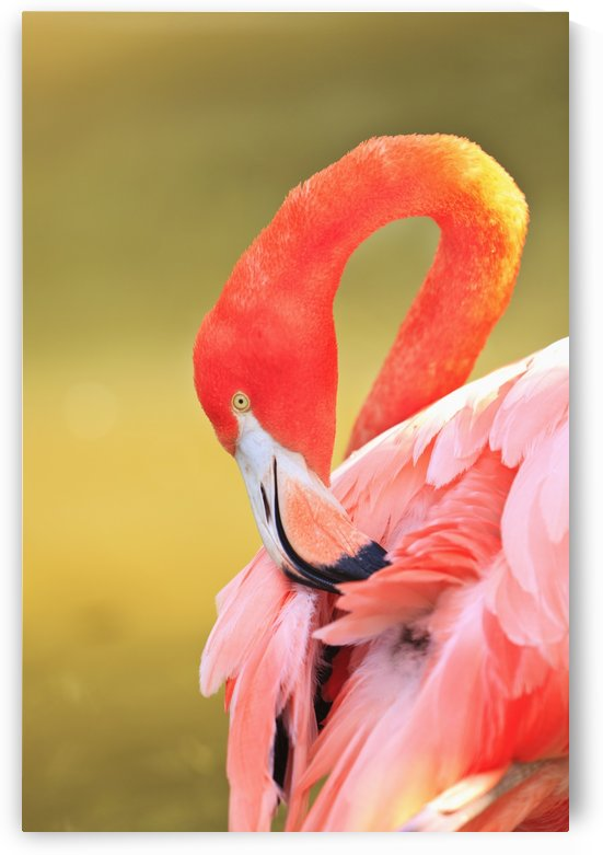 Caribbean Flamingo (Phoenicopterus Rube) At The San Diego Zoo; San Diego California United States Of Americ by PacificStock