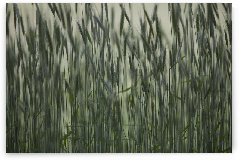 Long Grass In Farm Field by PacificStock