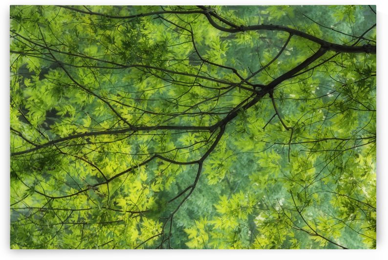 Maple Tree At Selkirk Provincial Park - Selkirk, Ontario, Canada by PacificStock