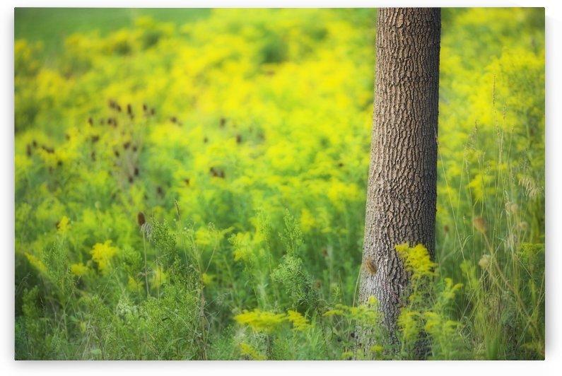 Goldenrod - Binbrook Conservation Area - Binbrook, Ontario, Canada by PacificStock