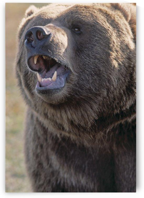 Captive Kodiak Grizzly Bear by PacificStock
