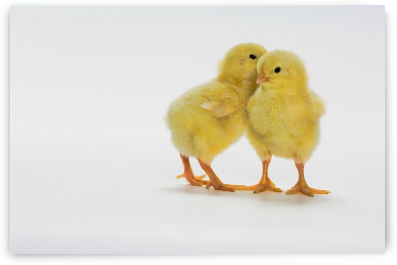 Yellow Chicks. Baby Chickens. by PacificStock
