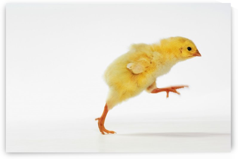 Yellow Chick. Baby Chicken. by PacificStock