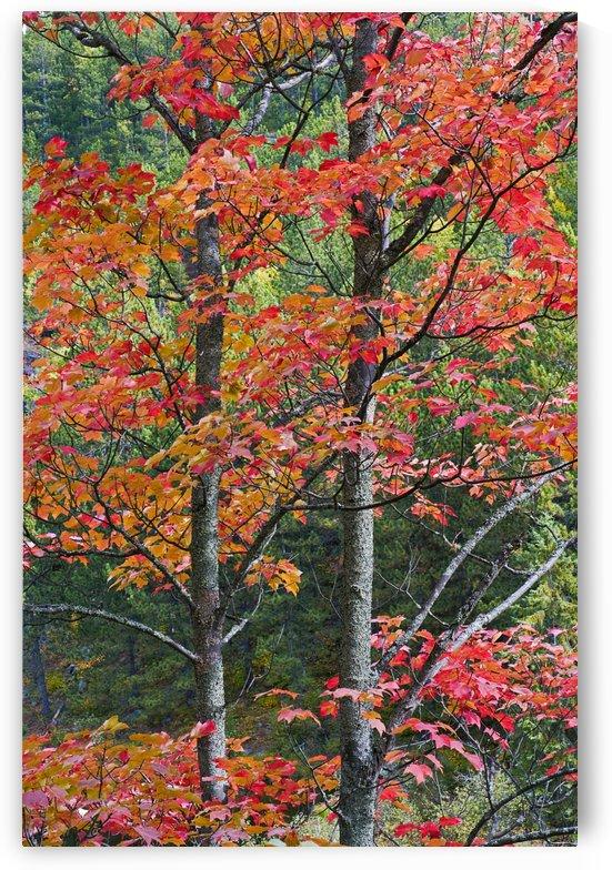 Autumn Sugar Maple Trees. Algonquin Provincial Park, Ontario. Canada. by PacificStock