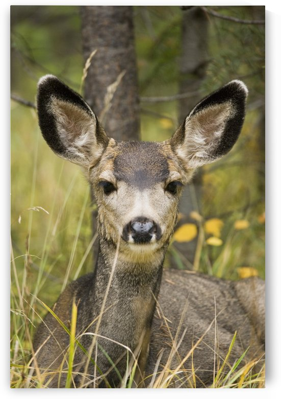 Mule Deer Near Maligne Lake, Jasper National Park, Alberta, Canada by PacificStock