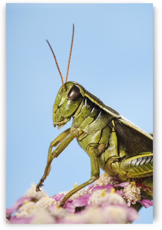 Grasshopper Close-Up. by PacificStock