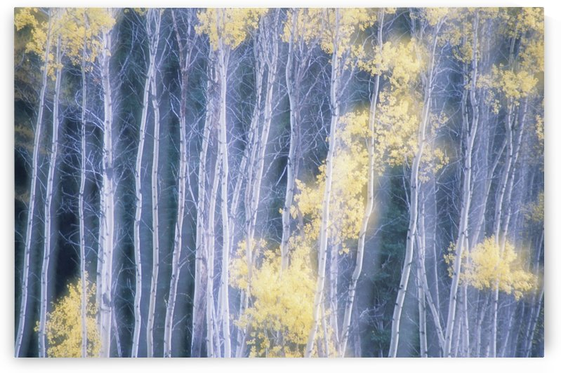 Poplar Trees In Autumn, Grey Creek Pass, East Kootenays, British Columbia, Canada by PacificStock