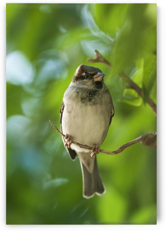 A Sparrow Perched On A Small Branch; Tarifa, Cadiz, Andalusia, Spain by PacificStock