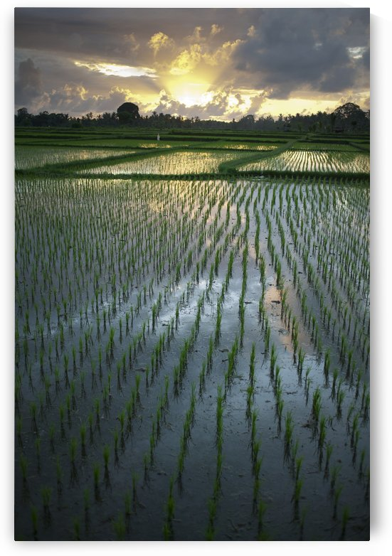 Rice Fields Near Ubud; Bali, Indonesia by PacificStock