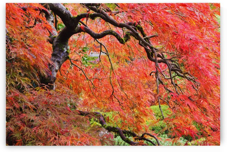 Autumn Colours At The Japanese Gardens; Portland, Oregon, United States of America by PacificStock