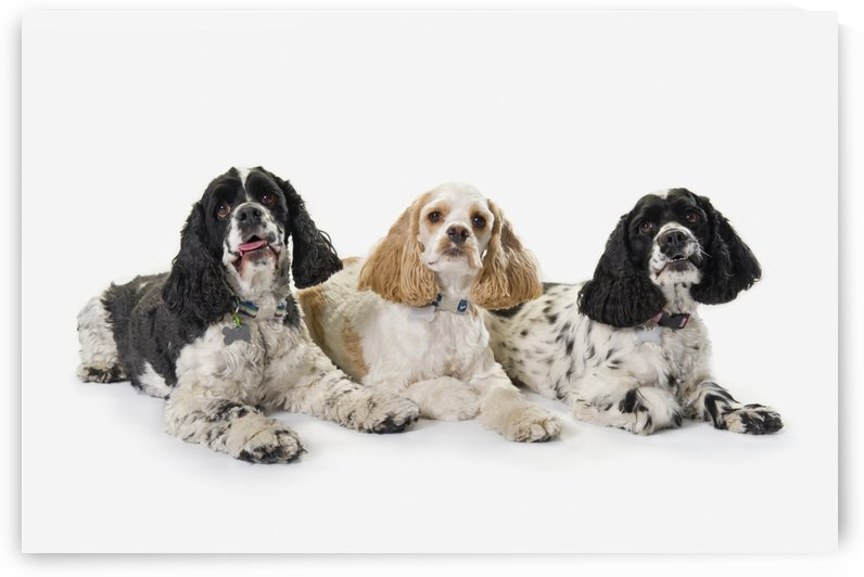 Three cocker spaniels on a white background;St. albert alberta canada by PacificStock