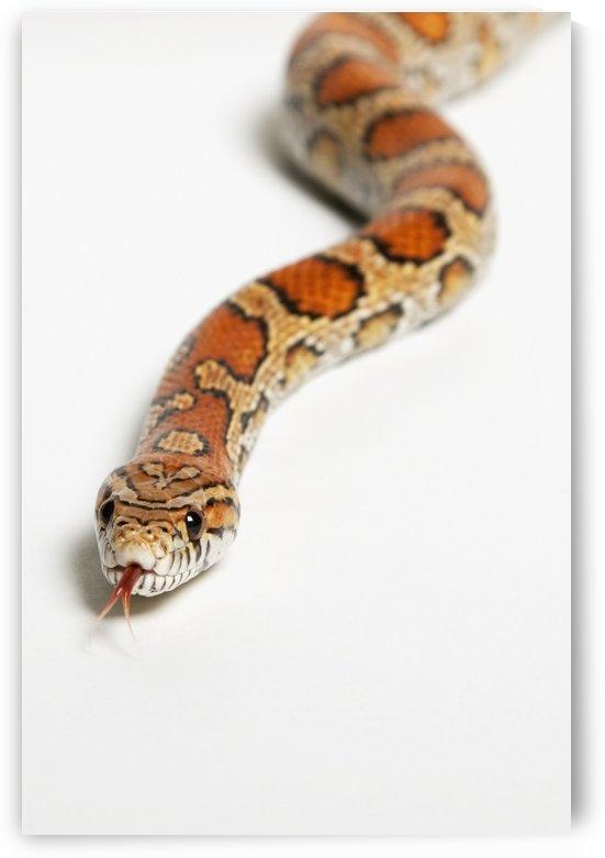 Corn snake (pantherophis guttatus guttatus);Spruce grove alberta canada by PacificStock