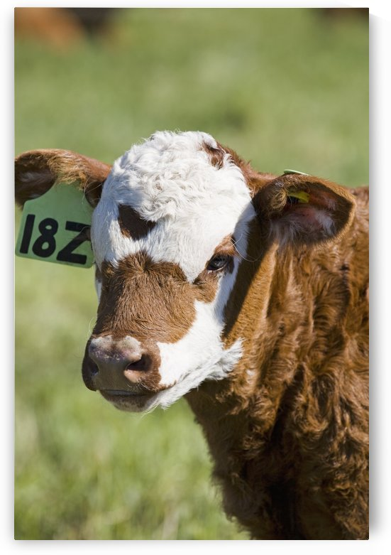 Close up of a baby calf's face in a field;Alberta canada by PacificStock
