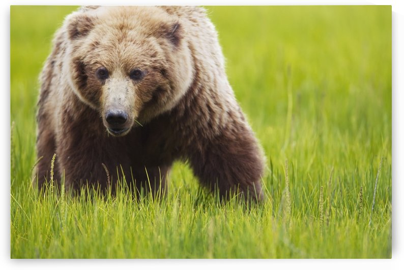 Brown bear up close at lake clarke national park;Alaska united states of america by PacificStock