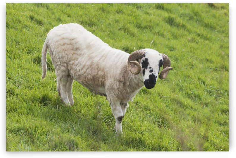Black faced sheep;Dingle peninsula county kerry ireland by PacificStock
