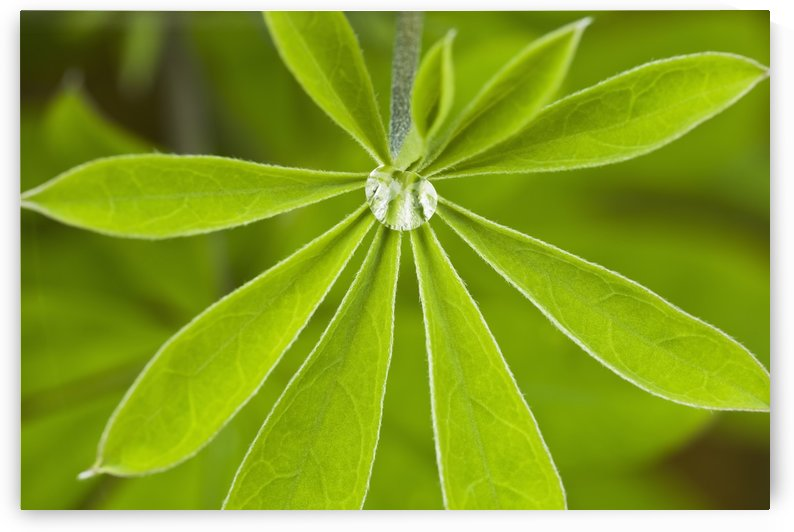 Macro Of A Dew Drop In The Middle Of A Nootka Lupine Leaf Along The Copper River Delta, Chugach National Forest, Southcentral Alaska, Summer by PacificStock
