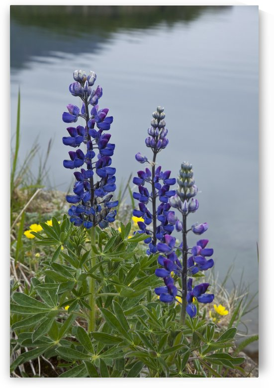 Lupine Flowers, Southwest Alaska, Summer by PacificStock