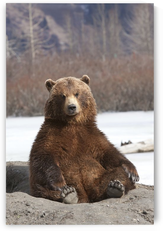 Captive: Brown Bear Sits On Its Rump At Alaska Wildlife Conservation Center, Southcentral Alaska, Spring by PacificStock