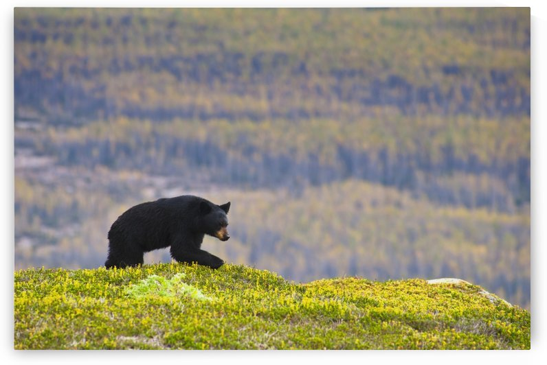 A Black Bear Foraging For Berries Near The Harding Icefield Trail At Exit Glacier, Kenai Fjords National Park, Seward, Southcentral Alaska, Autumn by PacificStock
