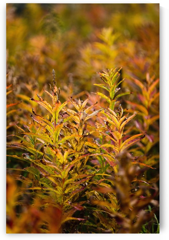 Fireweed With Autumn Colors, Kodiak Island, Southwest Alaska by PacificStock