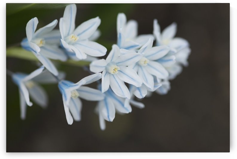 Close up of white flowers;Lake of the woods ontario canada by PacificStock