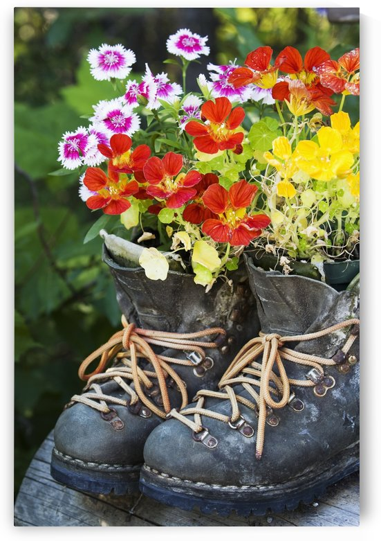 Colourful flowers growing in hiking boots;Field british columbia canada by PacificStock