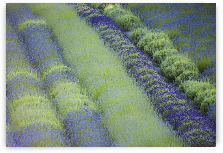 Rows of different lavender plants in a field in the cowichan valley;British columbia canada by PacificStock