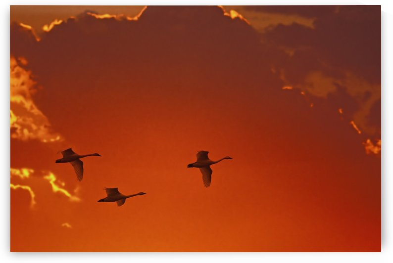Trumpeter swans (cygnus buccinator) flying at sunset;Alaska united states of america by PacificStock