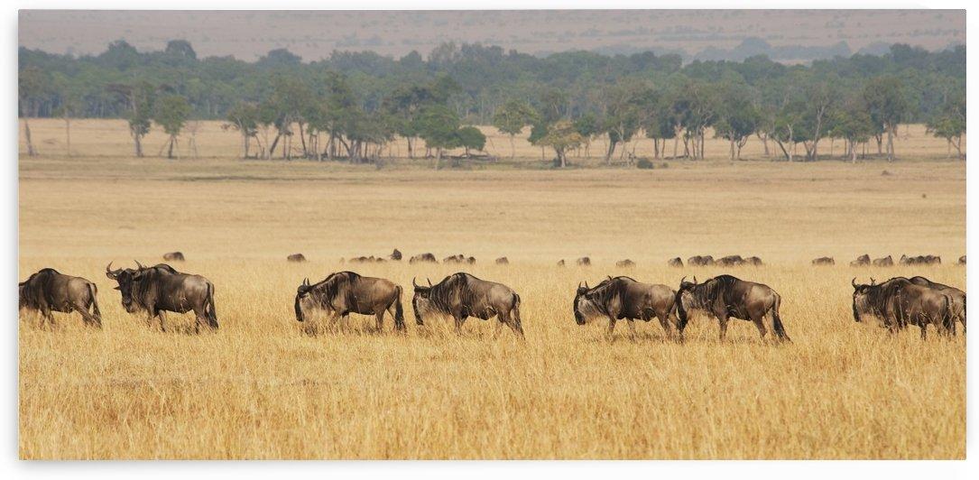 Migration of wildebeest;Maasai mara kenya by PacificStock