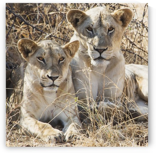 Two female lions sitting in the grass in maasai mara national reserve;Maasai mara kenya by PacificStock