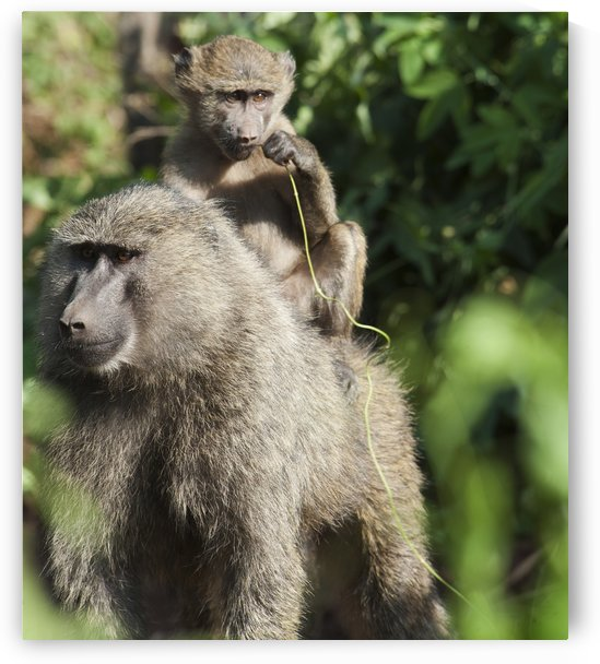 A monkey and it's baby sitting on her back in the maasai mara national reserve;Maasai mara kenya by PacificStock