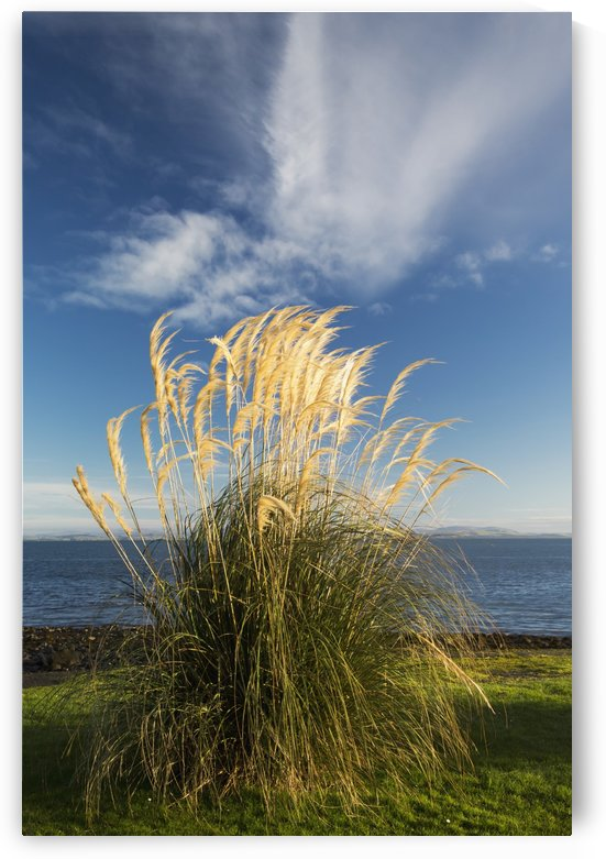 Tall grasses growing at the water's edge;Dumfries and galloway scotland by PacificStock