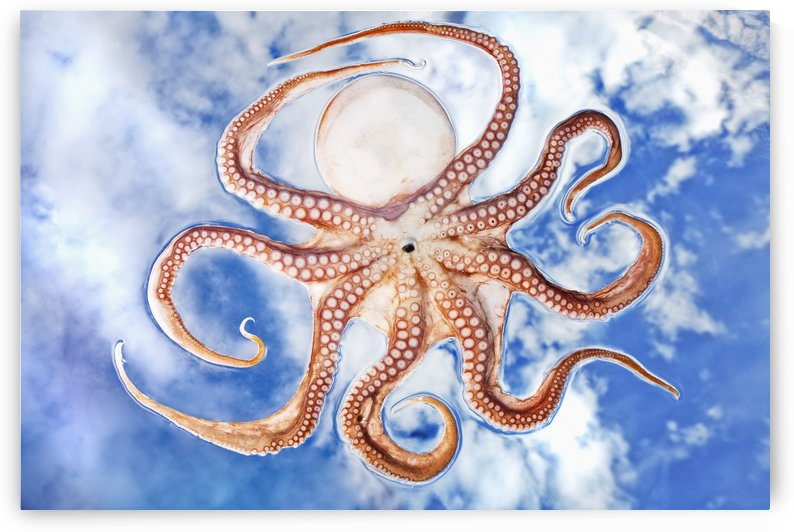 An octopus with blue sky and cloud in the background by PacificStock