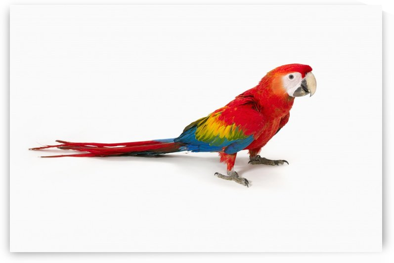 A scarlet macaw parrot on white background by PacificStock