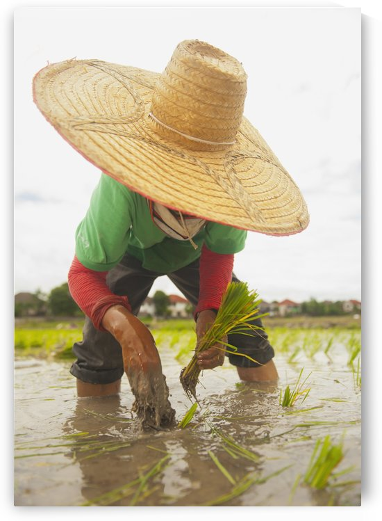 Planting new rice;Chiang mai thailand by PacificStock