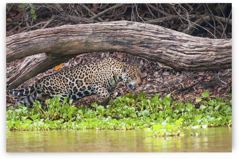 Female jaguar hunts along the pixiam river;Pantanal brazil by PacificStock