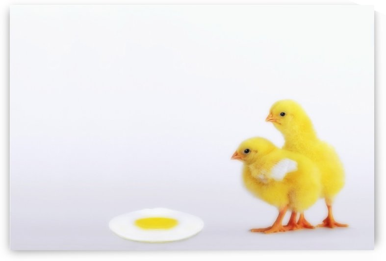 Two yellow baby chicks looking at fried egg;British columbia canada by PacificStock