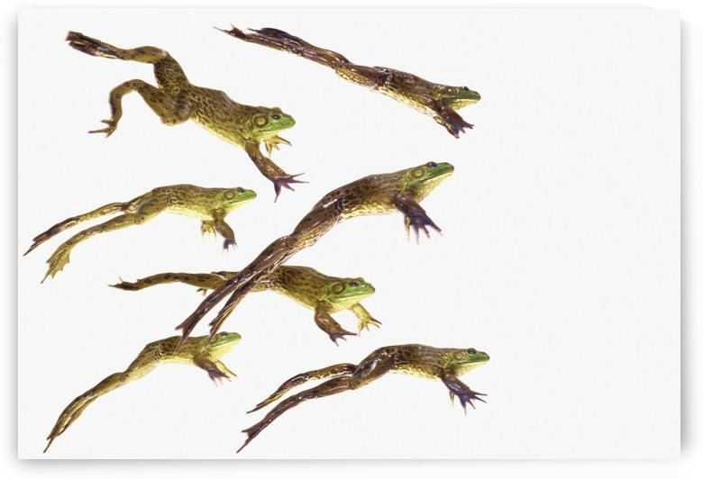 Leaping frogs;British columbia canada by PacificStock