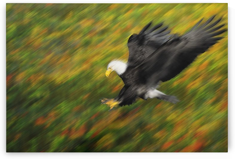 Bald eagle (haliaeetus leucocephalus) diving for prey with extended talons;British columbia canada by PacificStock