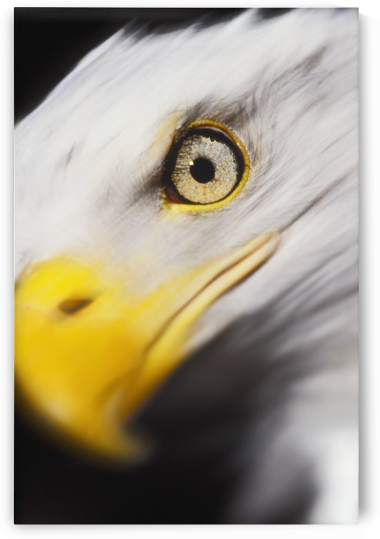 Close up of a bald eagle's (haliaeetus leucocephalus) face;British columbia canada by PacificStock